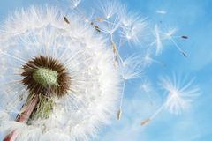 Dandelion clock dispersing seed stock photos