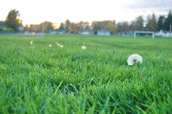 Dandelion clock in the field Royalty Free Stock Photography