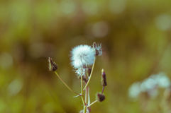 Dandelion clock flower with a nice sun on background. stock photography