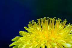 dandelion clock Stock Image