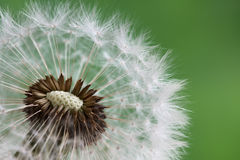 Dandelion clock in morning sun Royalty Free Stock Images