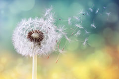Dandelion clock in morning sun stock image