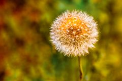 Dandelion clock with an orange wild flower hidden behind making the clock appear orange. In the sunshine stock photo