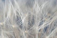 Dandelion clock parachutes Stock Photography