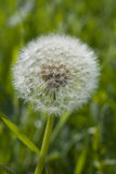 Dandelion Clock Seed head Royalty Free Stock Images
