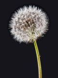 Dandelion clock seedhead on black Royalty Free Stock Photography