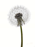 Dandelion clock seedhead isolated on white. Single seed head studio isolated over white Royalty Free Stock Photography