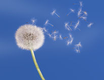 Dandelion clock seeds blow in the air Stock Image