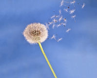 Dandelion clock seeds blow in the air - light. Royalty Free Stock Photos