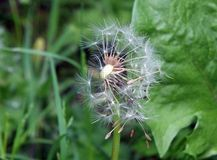 Dandelion clock with the seeds flying away Stock Photo