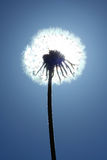 Dandelion clock silhouette Royalty Free Stock Images
