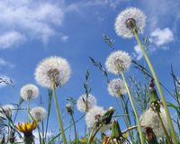 Dandelion clocks Royalty Free Stock Images
