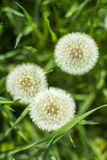 Dandelion clocks from above. Dandelion clocks in garden grass taken from above Stock Photos