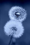 Dandelion Clocks in Blue Stock Photography