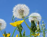 Dandelion clocks and buttercups Stock Image