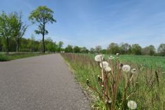Dandelion clocks at the side of a rural road Royalty Free Stock Photo