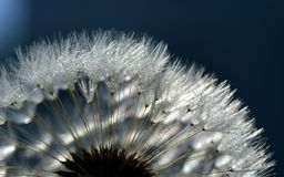 Dandelion, Close, Common Dandelion Royalty Free Stock Photos