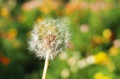 Dandelion in close eye Stock Photos
