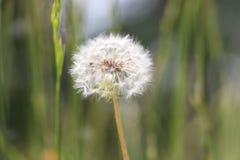 Dandelion. Close perpective of dandelion in spring Stock Photos