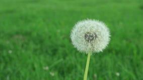 Dandelion stock footage