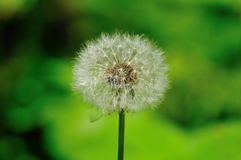 Dandelion. Close shot of a dandelion with a green background Royalty Free Stock Photos