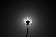 Dandelion close the sun disc Royalty Free Stock Photos