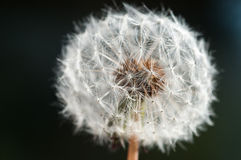 Dandelion - Close up 03 Royalty Free Stock Photography