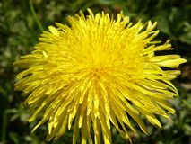 Dandelion Close Up. Close up view of a dandelion flower in a meadow Stock Photography