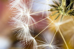 Dandelion close up. Dandelion closeup with a colourful background Stock Image