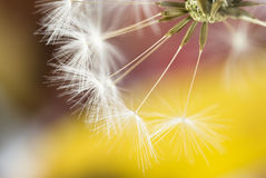 Free Dandelion Close Up Royalty Free Stock Images - 11112579