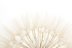 Dandelion close up Royalty Free Stock Photos