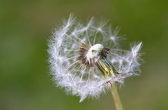 Dandelion close up. With a green background Stock Image