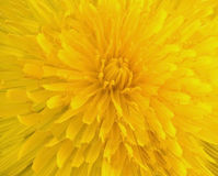 Dandelion close-up Stock Image