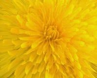 Dandelion close-up. Close-up of a dandelion in spring Stock Image