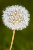 Dandelion close up Royalty Free Stock Image