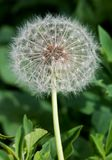 Dandelion close up Royalty Free Stock Images