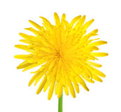 Dandelion close up. Isolated on white background stock photography