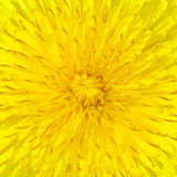 Dandelion close-up Royalty Free Stock Photography