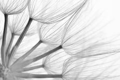 Dandelion close-up Royalty Free Stock Photo