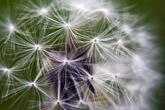 Dandelion Close-up Stock Image