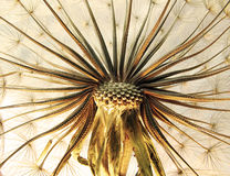 Dandelion close-up. Close up of dandelion flower showing seeds and stem stock photos