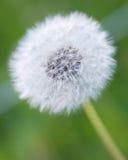 Dandelion close up. Close up shot of a dandelion in bloom Stock Photo