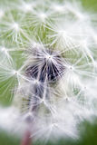 Dandelion Close-up stock photos