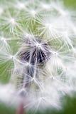 Dandelion Close-up Stock Photos