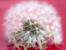 Dandelion Close-up royalty free stock photo