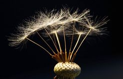Dandelion close up. A close up of a dried dandelion with seeds Stock Photography