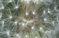 Dandelion. Close up of a dandelion Royalty Free Stock Images