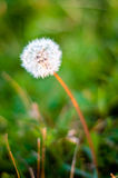Dandelion close up background Royalty Free Stock Photos