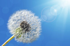 Dandelion close up Stock Photography