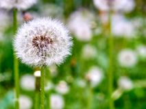 Dandelion against grass background royalty free stock image